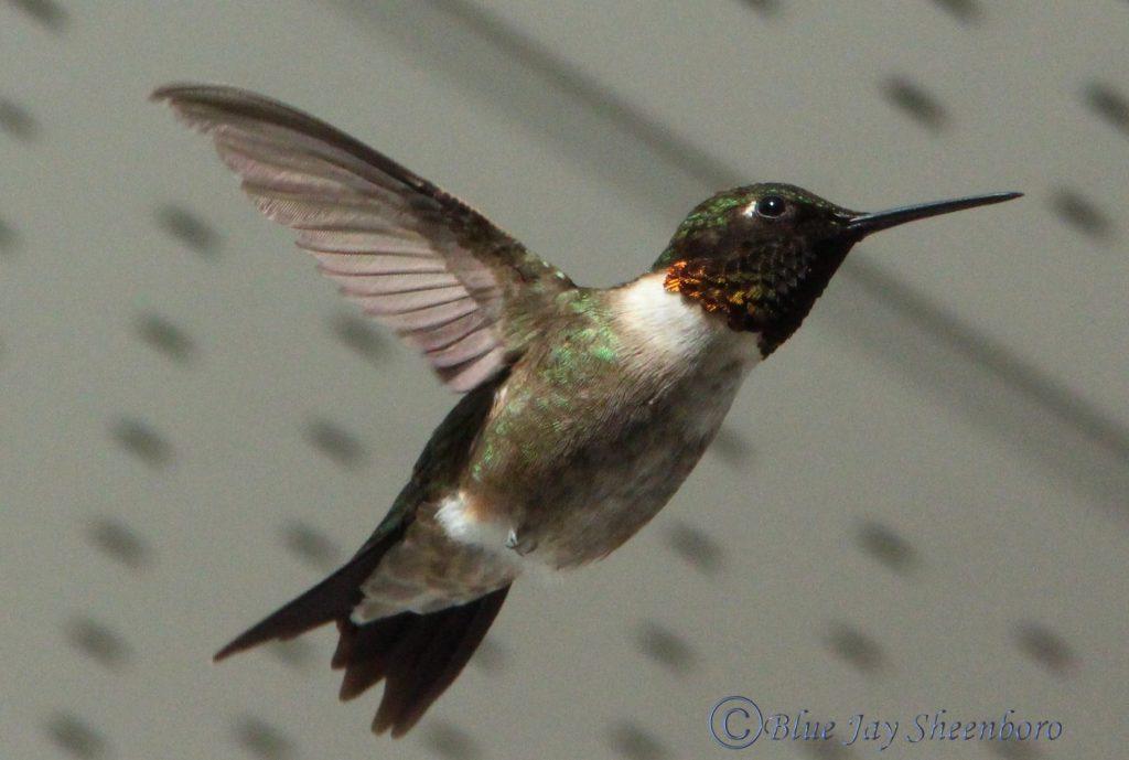 Kolibris im Sommer.
