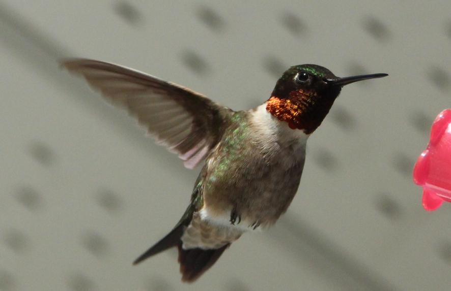 Hummingbirds - Climatic zones of Canada